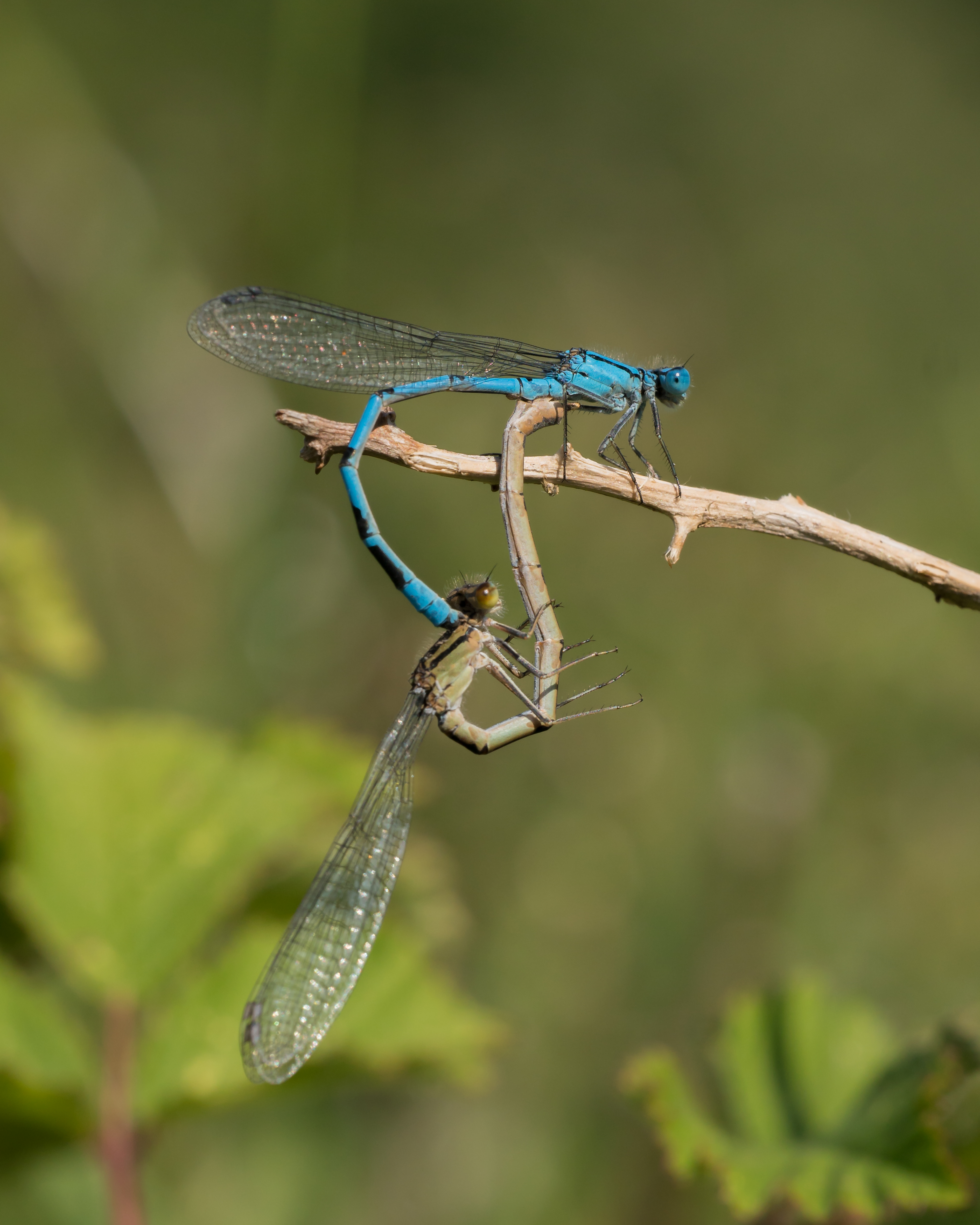 Common Blue Damselflies-07482