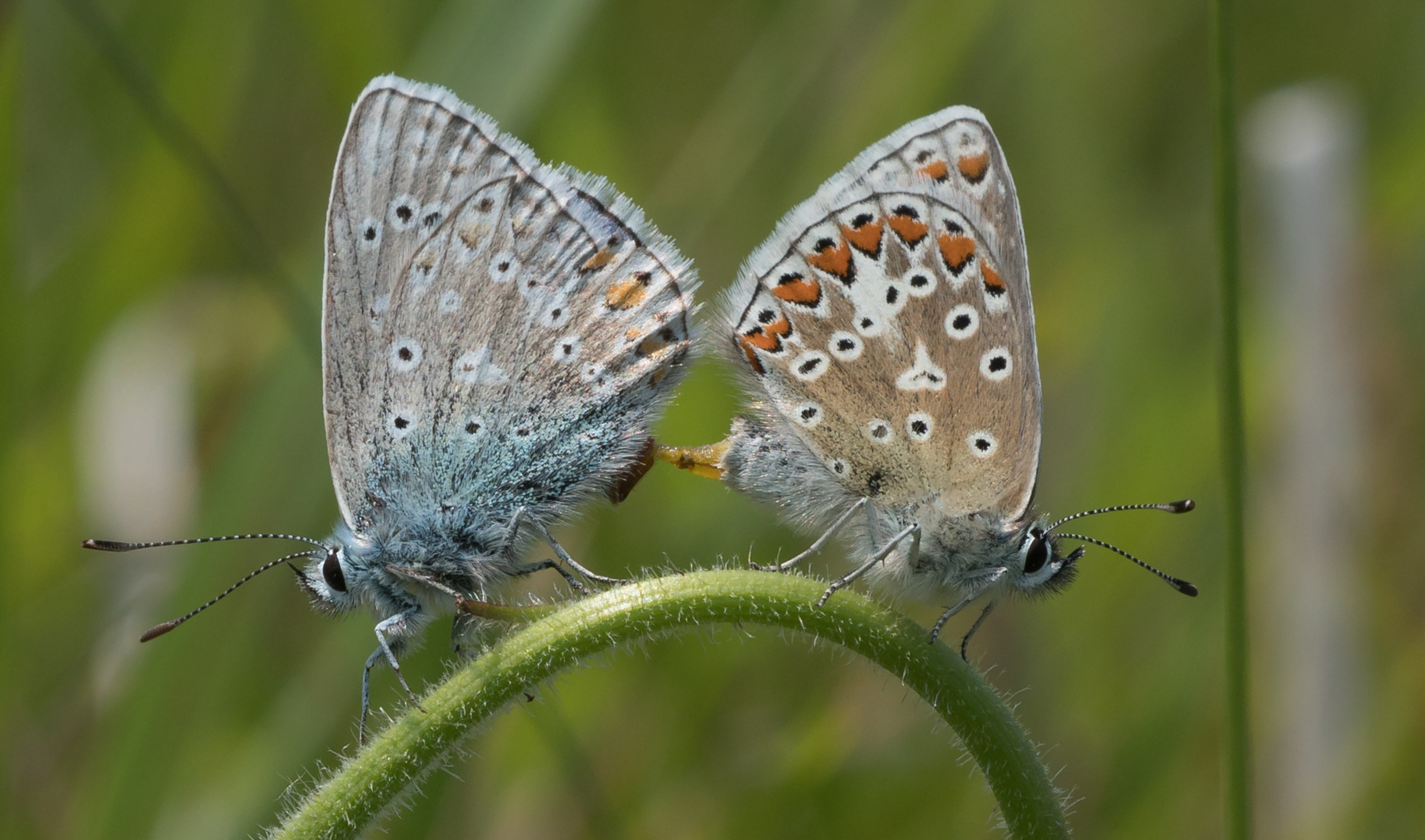 Common Blue Butterfly-