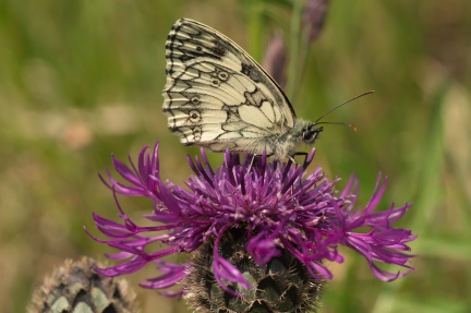 Marbled White Butterfly-07501