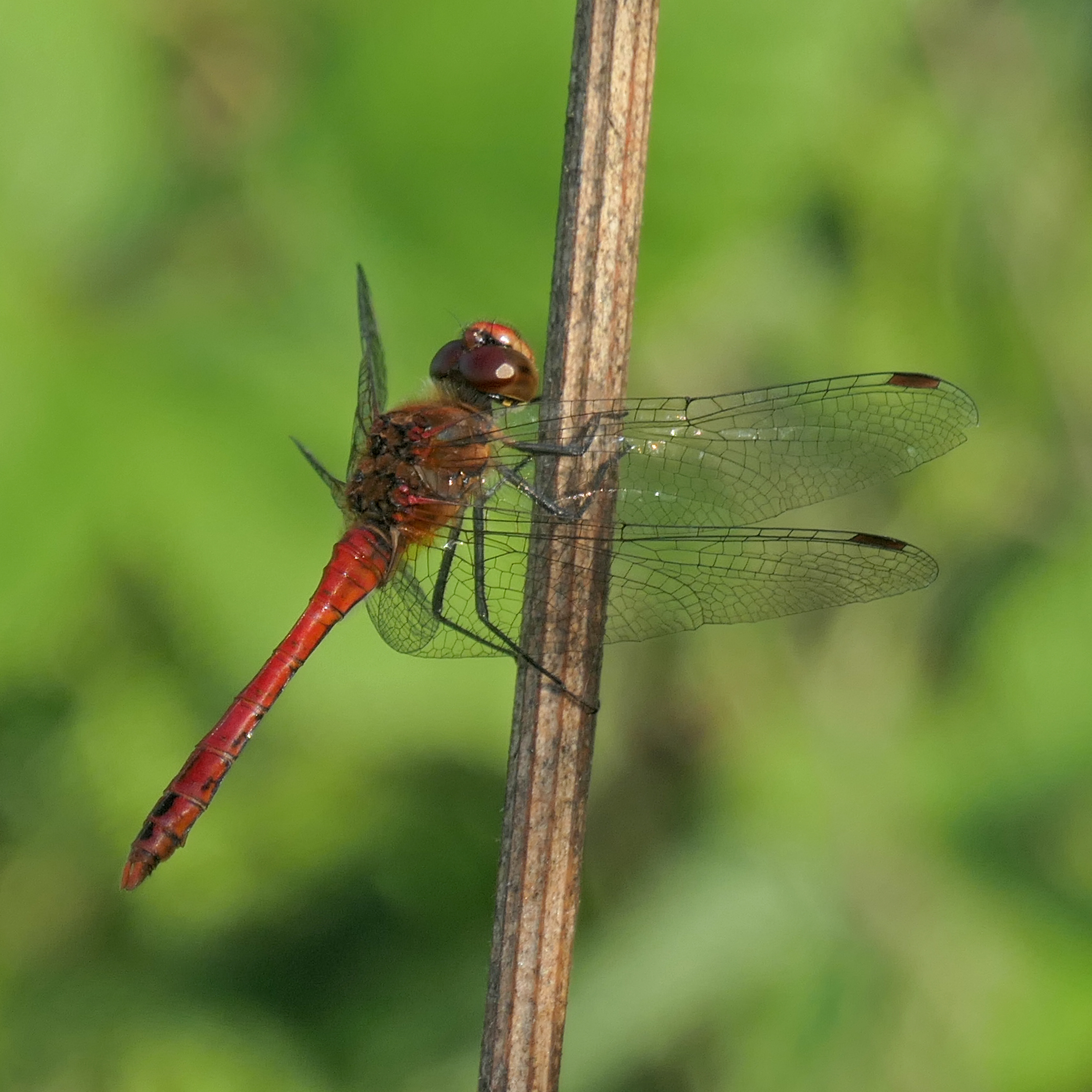 Ruddy Darter-1014524_edited-1