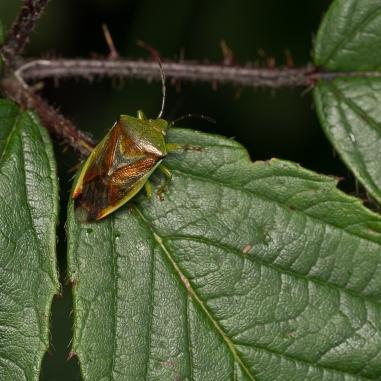 Birch Shieldbug1